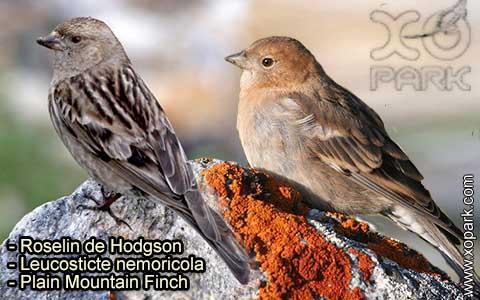 Roselin de Hodgson –Leucosticte nemoricola – Plain Mountain Finch – xopark-5