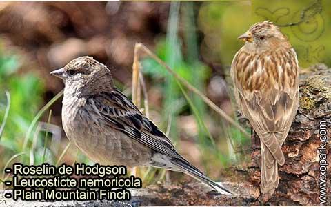 Roselin de Hodgson –Leucosticte nemoricola – Plain Mountain Finch – xopark-6
