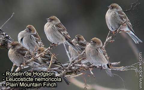 Roselin de Hodgson –Leucosticte nemoricola – Plain Mountain Finch – xopark-7