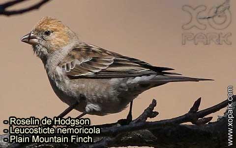 Roselin de Hodgson –Leucosticte nemoricola – Plain Mountain Finch – xopark-8