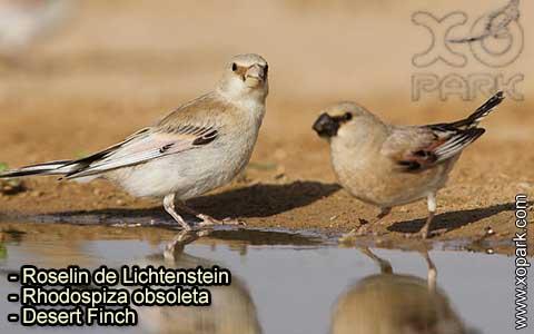 Roselin de Lichtenstein –Rhodospiza obsoleta – Desert Finch – xopark-1