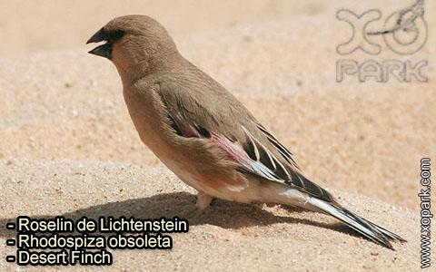 Roselin de Lichtenstein –Rhodospiza obsoleta – Desert Finch – xopark-10
