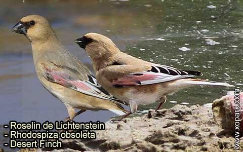 Roselin de Lichtenstein –Rhodospiza obsoleta – Desert Finch – xopark-2