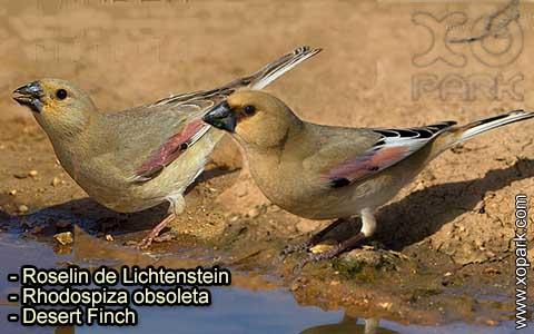 Roselin de Lichtenstein –Rhodospiza obsoleta – Desert Finch – xopark-3