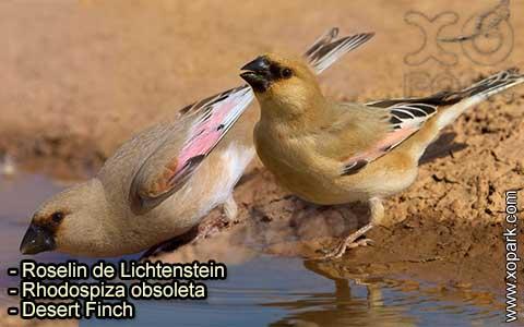 Roselin de Lichtenstein –Rhodospiza obsoleta – Desert Finch – xopark-4