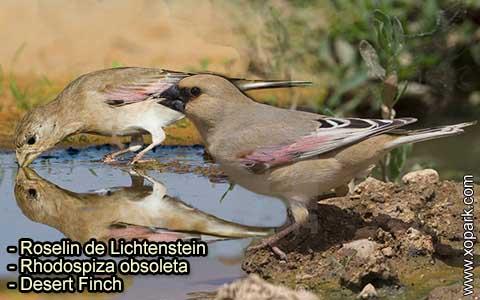 Roselin de Lichtenstein –Rhodospiza obsoleta – Desert Finch – xopark-5