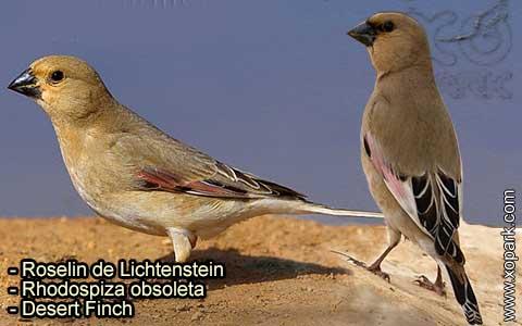 Roselin de Lichtenstein –Rhodospiza obsoleta – Desert Finch – xopark-6