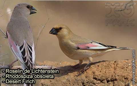 Roselin de Lichtenstein –Rhodospiza obsoleta – Desert Finch – xopark-7