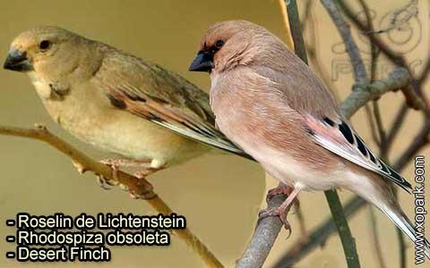 Roselin de Lichtenstein –Rhodospiza obsoleta – Desert Finch – xopark-8