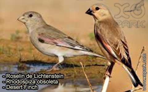 Roselin de Lichtenstein –Rhodospiza obsoleta – Desert Finch – xopark-9