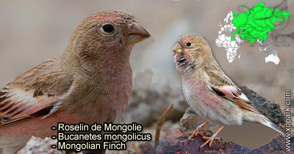 Roselin de Mongolie (Bucanetes mongolicus - Mongolian Finch) est une espèce des oiseaux de la famille des Fringillidés (Fringillidae),