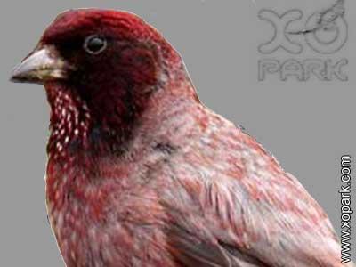 Roselin de Roborowski -Carpodacus roborowskii - Tibetan Rosefinch
