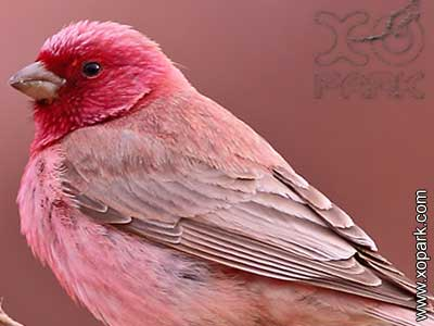 Roselin-du-Sinaï–Carpodacus-synoicus—Sinai-Rosefinch—xopark-0