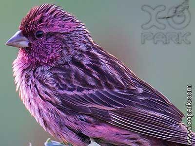 Roselin superbe -Carpodacus pulcherrimus - Himalayan Beautiful Rosefinch