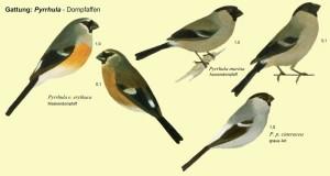 xopark0000Bouvreuil-des-Açores---Pyrrhula-murina---Azores-Bullfinch