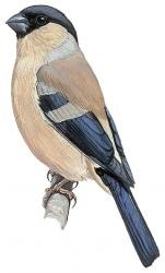 xopark000Bouvreuil-des-Açores---Pyrrhula-murina---Azores-Bullfinch
