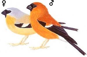 xopark000Bouvreuil-orangé---Pyrrhula-aurantiaca---Orange-Bullfinch