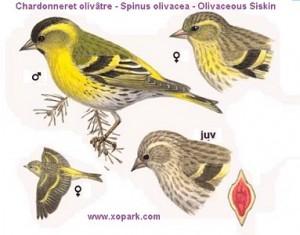 xopark000Chardonneret-olivâtre---Spinus-olivacea---Olivaceous-Siskin