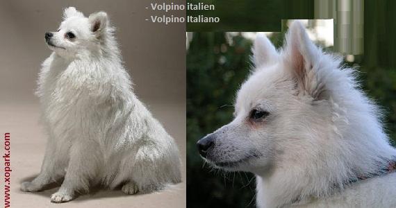 Volpino italien, Volpino Italiano, Spitz italien, Cane de Quirinale, Florentine Spitz, Italian Spitz