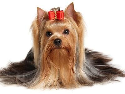 Terrier de Yorkshire, Terrier nain du Yorkshire, Terrier nain à poil long, Toy Terrier du Yorkshire, York, Yorkshire, Yorkie