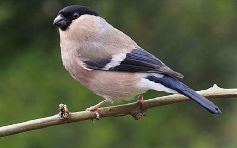 xopark10Bouvreuil-des-Açores—Pyrrhula-murina—Azores-Bullfinch