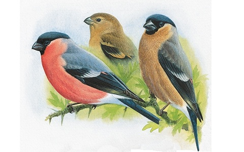 xopark10Bouvreuil-pivoine—Pyrrhula-pyrrhula—Eurasian-Bullfinch