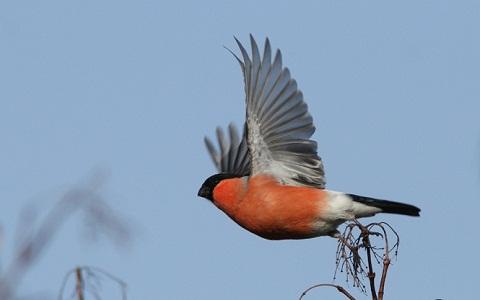 xopark11Bouvreuil-pivoine—Pyrrhula-pyrrhula—Eurasian-Bullfinch