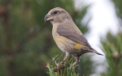 xopark12Bec-croisé-perroquet—Loxia-pytyopsittacus—Parrot-Crossbill