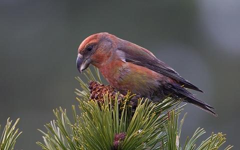 xopark13Bec-croisé-perroquet—Loxia-pytyopsittacus—Parrot-Crossbill