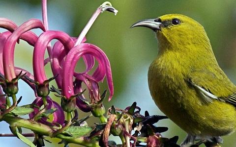 xopark1Amakihi-de-Kauai—Chlorodrepanis-stejnegeri—Kauai-Amakihi