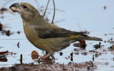 xopark1Bec-croisé-perroquet—Loxia-pytyopsittacus—Parrot-Crossbill