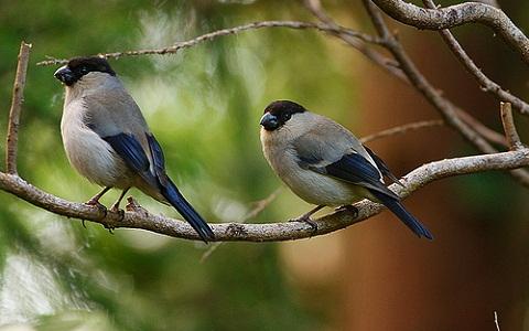xopark1Bouvreuil-des-Açores—Pyrrhula-murina—Azores-Bullfinch