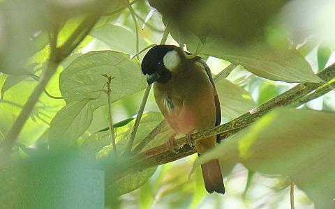 xopark1Bouvreuil-des-Philippines—Pyrrhula-leucogenis—White-cheeked-Bullfinch-
