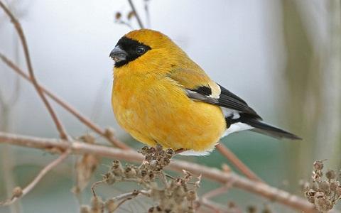 xopark1Bouvreuil-orangé—Pyrrhula-aurantiaca—Orange-Bullfinch