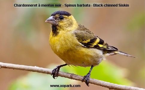 xopark1Chardonneret-à-menton-noir—Spinus-barbata—Black-chinned-Siskin
