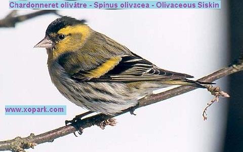 xopark1Chardonneret-olivâtre—Spinus-olivacea—Olivaceous-Siskin