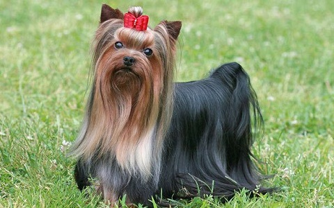 xopark1Yorkie—Yorkshire-Terrier