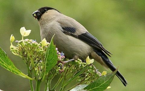 xopark2Bouvreuil-des-Açores—Pyrrhula-murina—Azores-Bullfinch