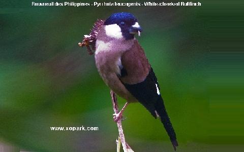 xopark2Bouvreuil-des-Philippines—Pyrrhula-leucogenis—White-cheeked-Bullfinch-