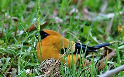 xopark2Bouvreuil-orangé—Pyrrhula-aurantiaca—Orange-Bullfinch