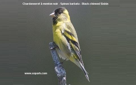 xopark2Chardonneret-à-menton-noir—Spinus-barbata—Black-chinned-Siskin