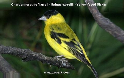 xopark2Chardonneret-de-Yarrell—Spinus-yarrellii—Yellow-faced-Siskin