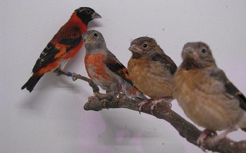 xopark2Chardonneret-rouge—Spinus-cucullata—Red-Siskin