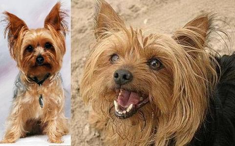 xopark2Yorkie—Yorkshire-Terrier