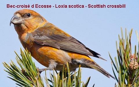 xopark3Bec-croisé-d-Ecosse—Loxia-scotica—Scottish-crossbill