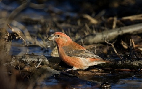 xopark3Bec-croisé-perroquet—Loxia-pytyopsittacus—Parrot-Crossbill
