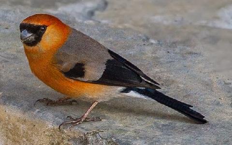 xopark3Bouvreuil-à-tête-rouge—Pyrrhula-erythrocephala—Red-headed-Bullfinch