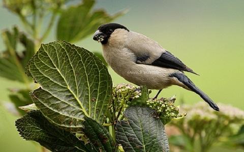 xopark3Bouvreuil-des-Açores—Pyrrhula-murina—Azores-Bullfinch