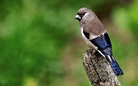 xopark3Bouvreuil-des-Philippines—Pyrrhula-leucogenis—White-cheeked-Bullfinch-