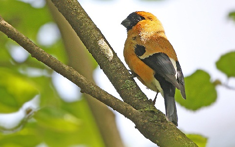 xopark3Bouvreuil-orangé—Pyrrhula-aurantiaca—Orange-Bullfinch